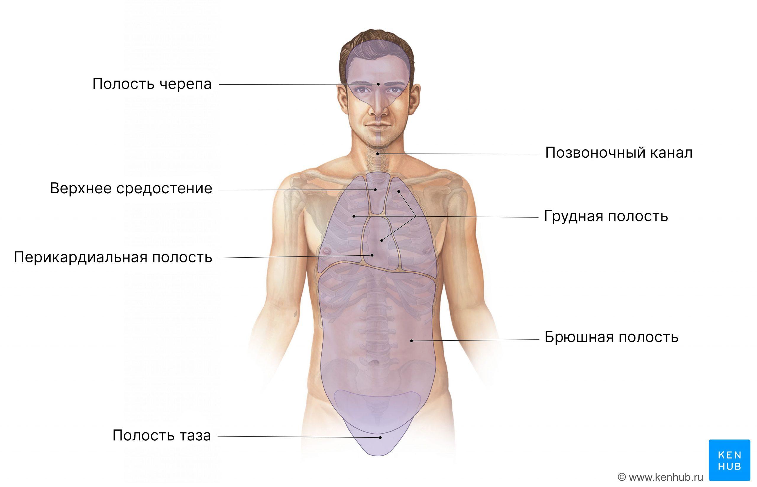 Полости человеческого тела (вид спереди)