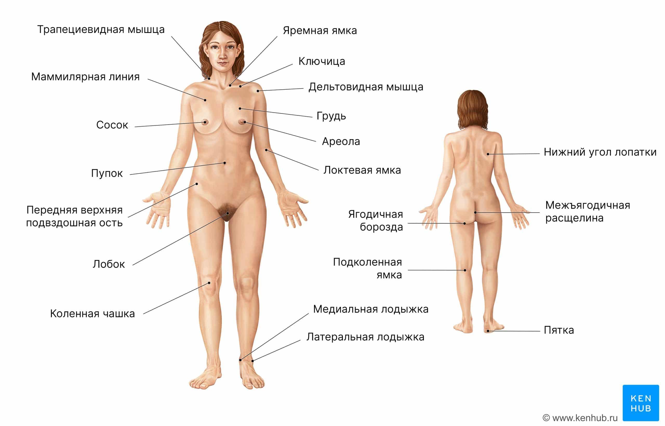 Анатомия поверхности женского тела (передний и задний виды)