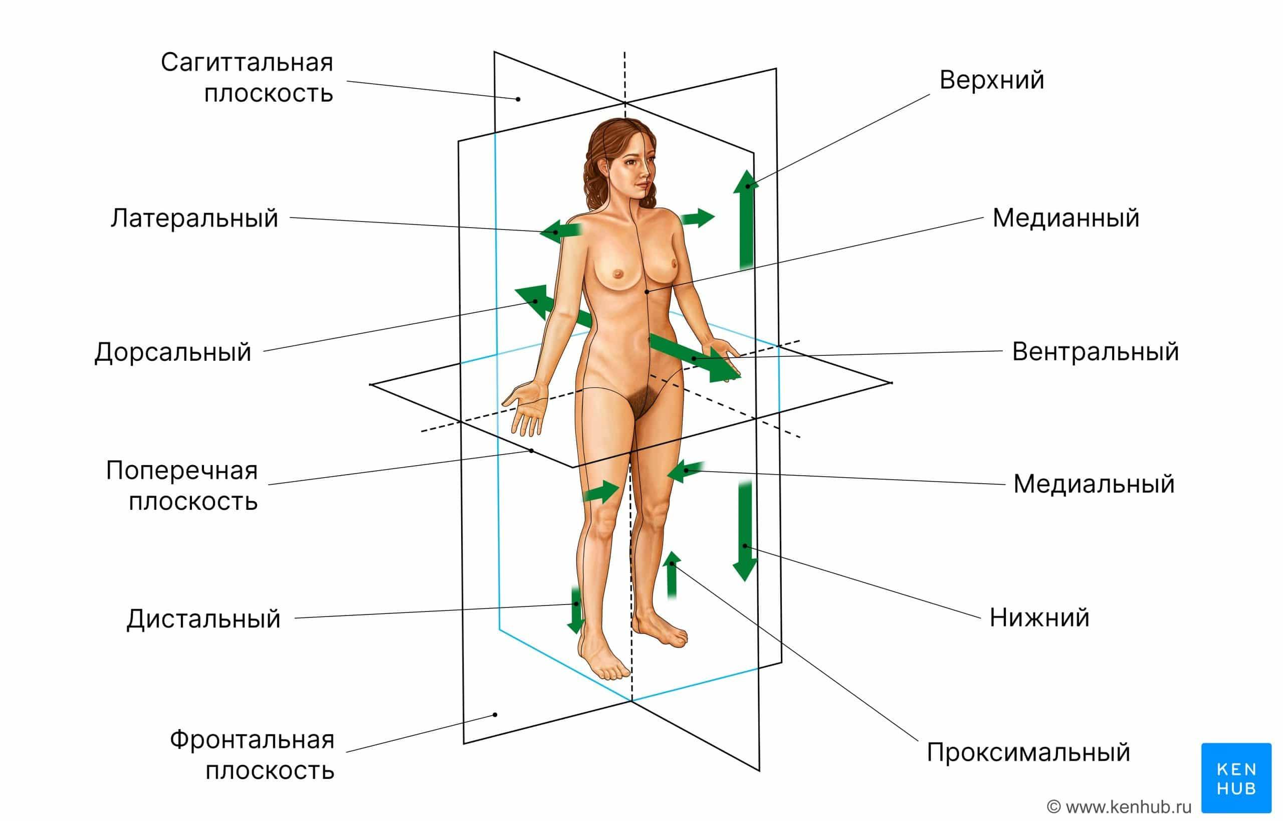 Термины направлений и плоскостей тела.