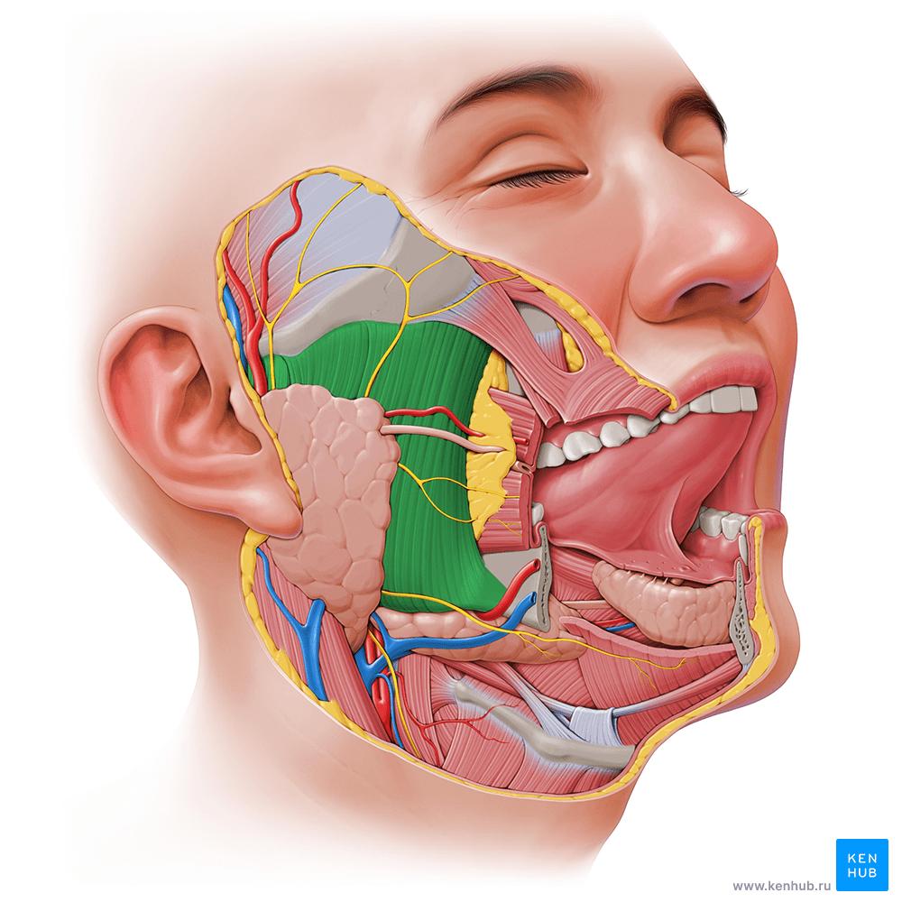Жевательная мышца