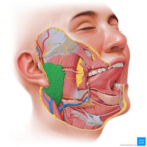 Околоушная слюнная железа