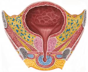 Женская уретра