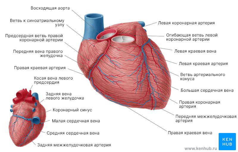 Обзор коронарных артерий и сердечных вен