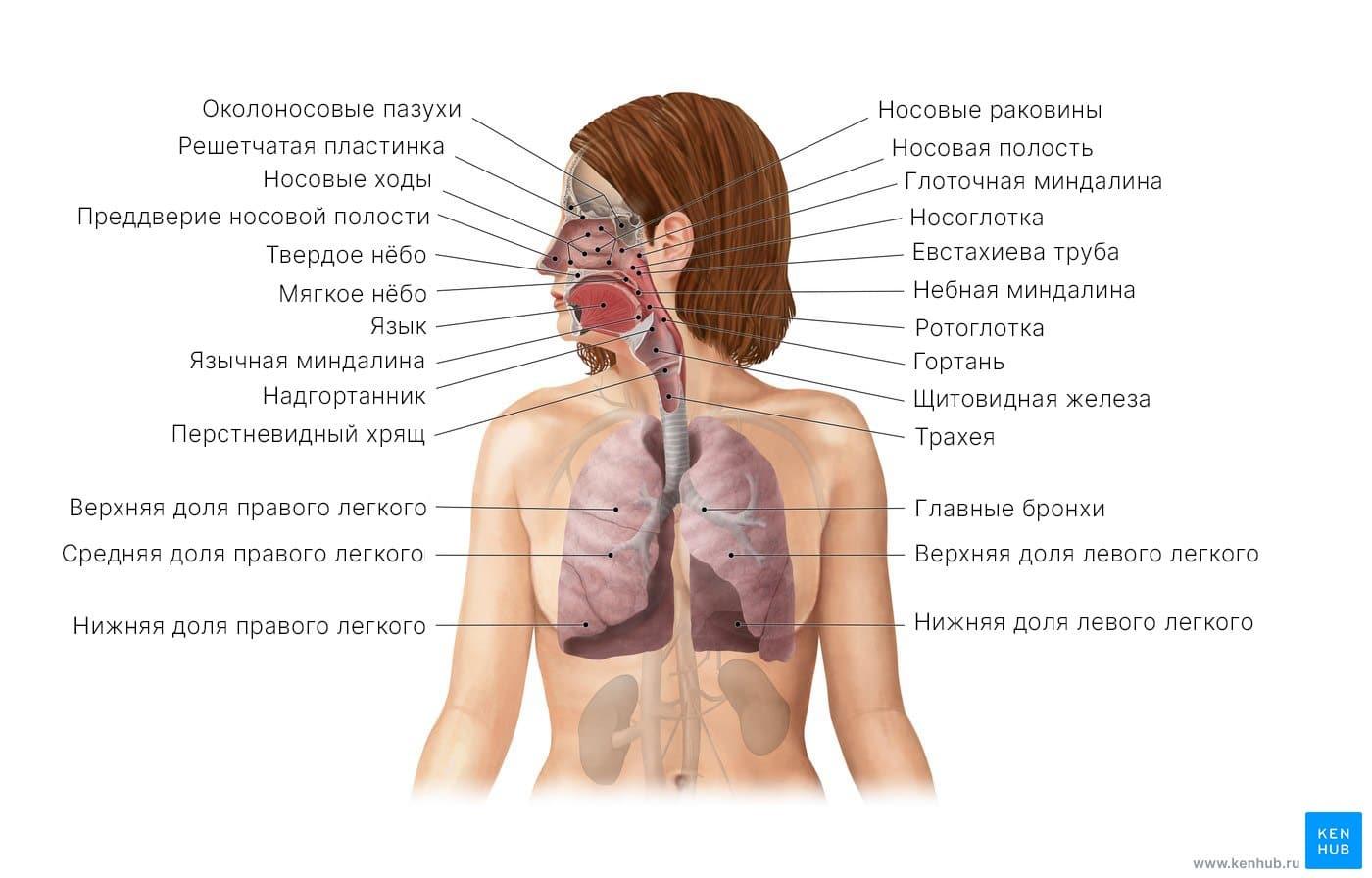 Дыхательная система (схема)