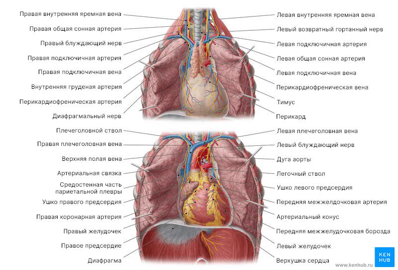 Обзор сердца in situ (вид с вентральной стороны)