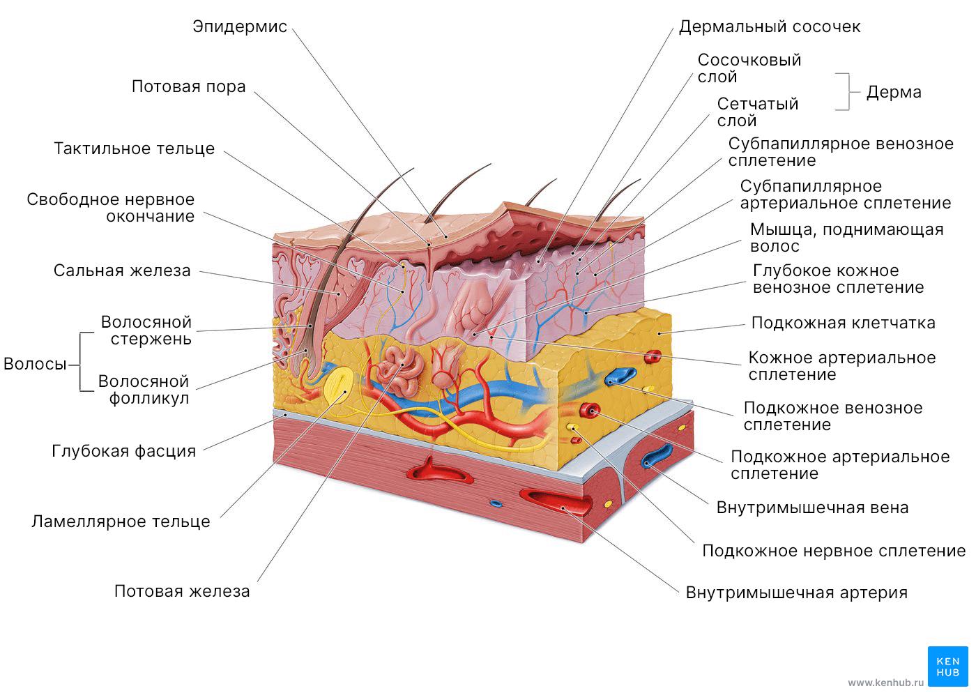 Покровная система