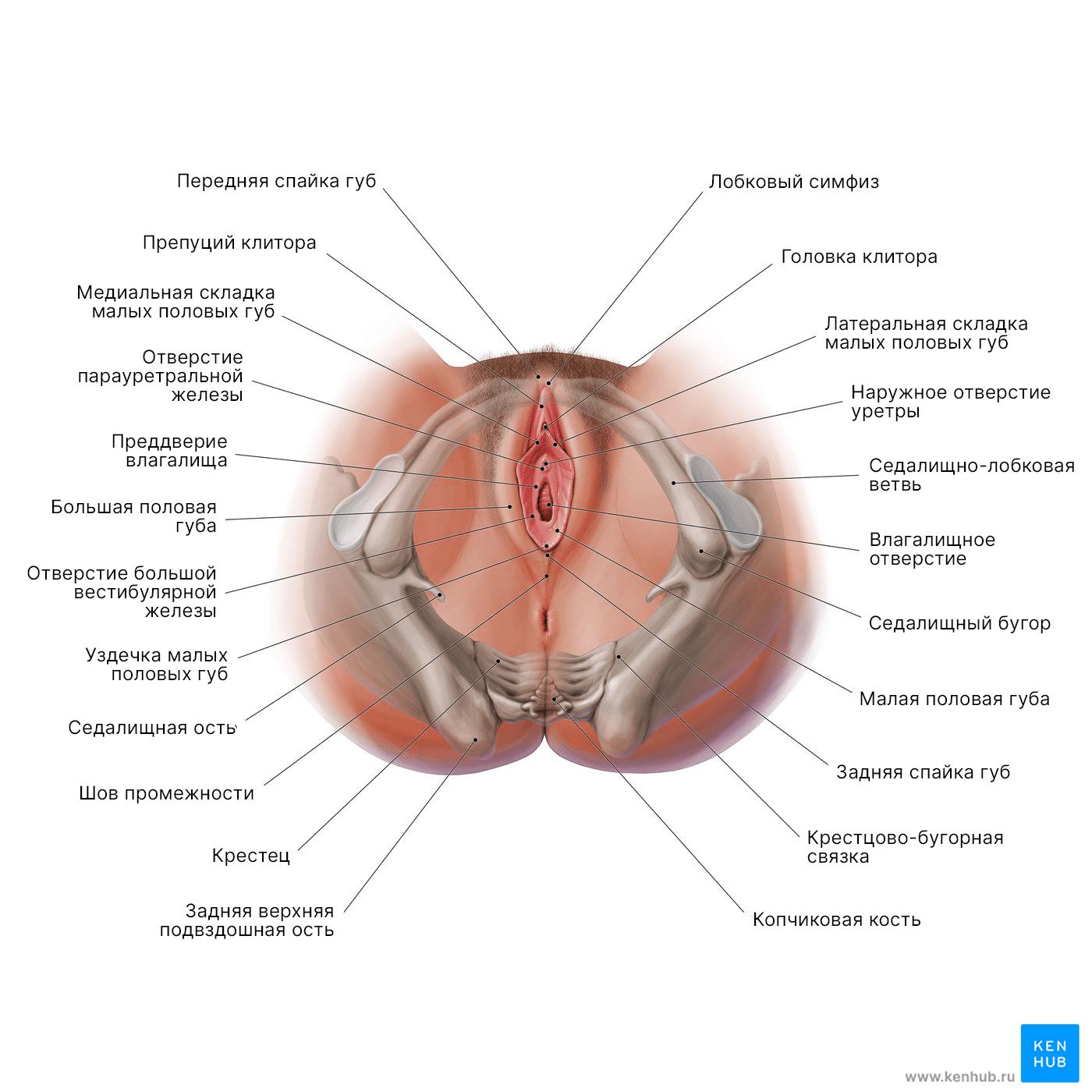 Промежность и вульва: Диаграмма