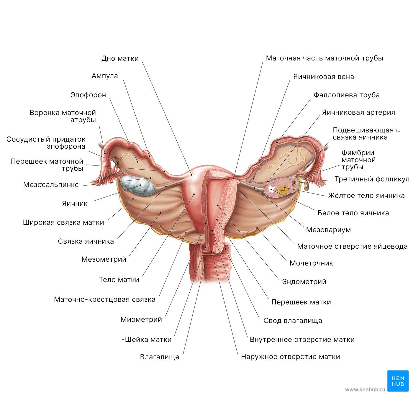 Схема женской анатомии: Матка и яичники